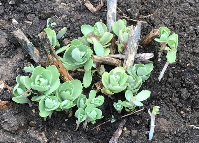 What's growing in Catherine's English Garden | Pink Sedum planted