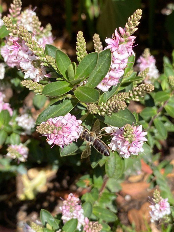 Honey Bee Flowers